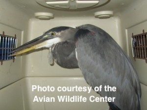 The Great Blue Heron being transported to the vet to remove the fishing lure from his beak, tongue and throat.