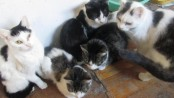 Cats currently in a Stillwater home that the NJSPCA is seeking to rehome. Photo courtesy of the NJSPCA.