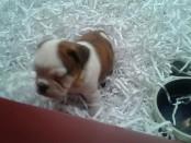 A photo of the English Bulldog puppy stolen from Pet Pourri on Nov. 26. Photo courtesy of Pet Pourri.