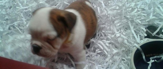 A photo of the English Bulldog puppy stolen from Pet Pourri on Nov. 26. Photo courtesy of Pet Pourri.
