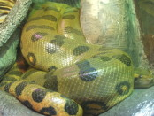 A green anaconda snake pictured on Wikipedia.