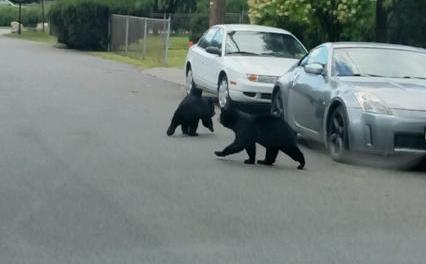 Bears walking through Hopatcong Borough. Photo courtesy of the Hopatcong Police Department.