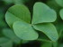 Four leaf clover, creative commons image courtesy of Wikimedia Commons.