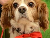Rex is a Cavalier King Charles Spaniel that Coming Home Rescue is raising funds for dental work. Image courtesy of Coming Home Rescue.