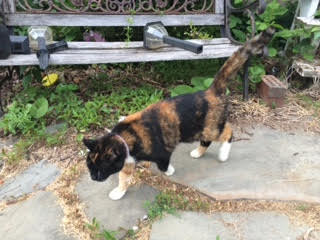 Lost calico cat in Fredon. Image courtesy of Fredon Township.