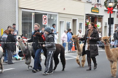 Alpaca prance down Spring Street. Photo by Jennifer Jean Miller.