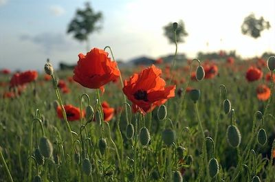 Poppies in Flanders Field, Creative Commons Image by Tijl Veercaemer.